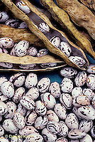 HS30-158x  Bean - shell beans - Horto  Tongues of Fire variety