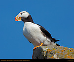 Puffin Portrait, Horned Puffin, Duck Island, Puffin Island, Tuxedni Bay, Cook Inlet, Alaska
