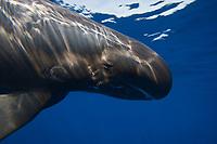 Pygmy killer whale, Feresa attenuata, Big Island, Hawaii, USA