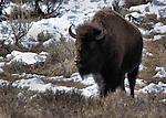 Yellowstone Park Wildlife
