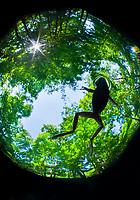 American bullfrog, Lithobates catesbeianus, silhouette, swimming, Ginnie Springs, High Springs, Florida, USA