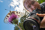 Photographer and apollo butterfly (Parnassius apollo) Nordtirol, Austrian Alps, Austria, July. (focus stack)