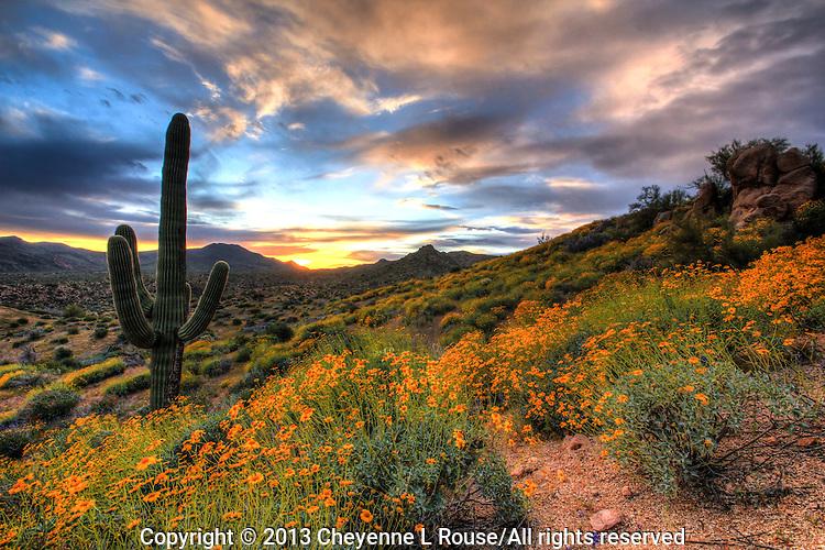 Wildflower Goodness at Sunset - Arizona