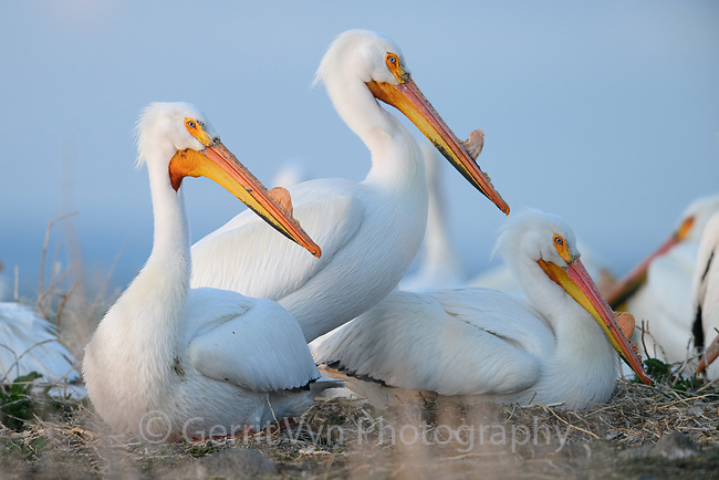 American White Pelican (Pelecanus erythrorhynchos) incubating nests in a colony. Lake County, Oregon. April.