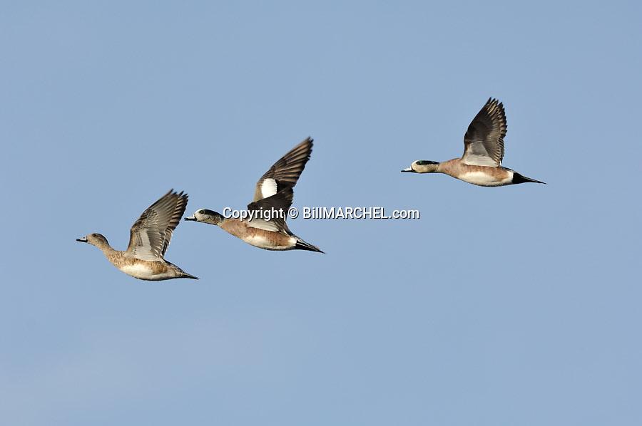 00318-007.10 American Wigeon flock in flight against a blue sky.  Hunt, waterfowl, baldpate, fly, action, waterfowl.