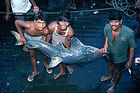 fishermen hold, Rhynchobatus djiddensis, at Bombay Fish Market - India.