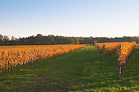 Autumn colours in the vineyard in late afternoon evening sunshine, red, brown, yellow leaves Domaine Vignoble des Verdots Conne de Labarde Bergerac Dordogne France