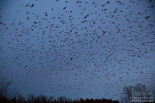 Crows Flying to Roost, Bothell, Washington