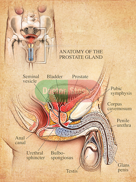 This medical illustration shows an editorial image featuring anterior (front) and sagittal (cut-away from the side) views of the male urogenital system, penis and the prostate.