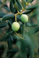 Europe/Croatie/Dalmatie/ Ile de Vis:  Olives sur l'arbre
