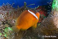 0322-1121  Tomato Clownfish, Amphiprion frenatus, with Bubble-tip Anemone, Entacmaea quadricolor  © David Kuhn/Dwight Kuhn Photography