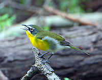 Adult male yellow-breasted chat calling