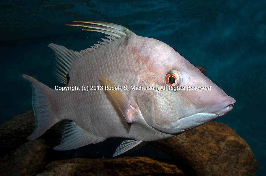 Rooster hogfish swimming right
