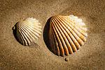 Spanien, Andalusien, Provinz Cádiz, Zahara de los Atunes: Strand an der Costa de la Luz, gewöhnliche Herzmuschel (Cerastoderma edule) | Spain, Andalusia, Province Cádiz, Zahara de los Atunes: beach at Costa de la Luz, common cockle (Cerastoderma edule)