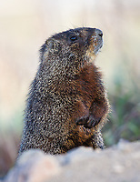 Another common sign of spring in rocky areas is the yellow-bellied marmot.