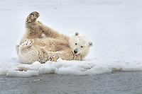 Polar bear cub rolls around in the snow covered barrier island in the Arctic National Wildlife Refuge.