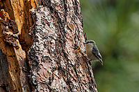 Pygmy Nuthatch (Sitta pygmaea) feeding young in cavity nest in tall ponderosa pine tree snag.  Western U.S., June.