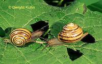 1Y08-118z  Snail, east coast land snail, Sephia hortensis