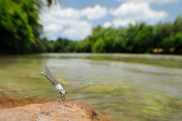 Powdered Dancer (Argia moesta), McKinney Roughs Park, Bastrop County, Central Texas, USA