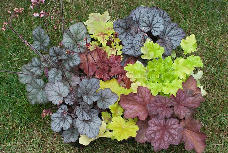 Heuchera & Heucherella collection of many varieties of colorful foliage plants
