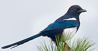 Black-billed Magpie, Rocky Mountain National Park, Colorado