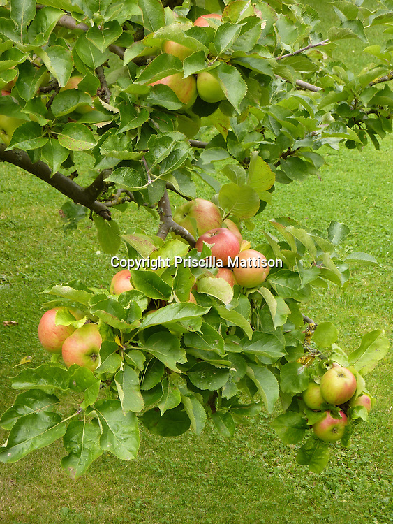An apple tree is laden with ripe apples.