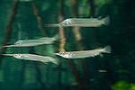Estuarine halfbeak (Zenarchopterus disper) reflection. North Raja Ampat, West Papua, Indonesia