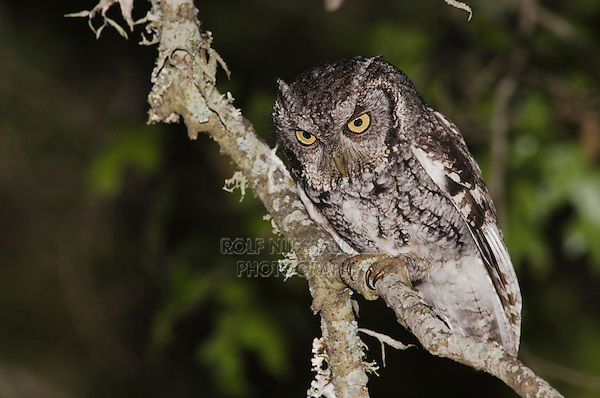 Eastern Screech-Owl, Megascops asio, adult at night in Texas Oak (Quercus buckleyi)Uvalde County, Hill Country, Texas, USA, April 2006