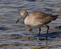 Willet, Intercostal Canal, Rockport, Texas