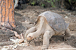 Charles Darwin Research Station, Puerto Ayora, Santa Cruz Island, Galapagos, Ecuador; Lonesome George, the last known Galapagos Giant Tortoise (Geochelone elephantopus) from Pinta Island, Lonesome George lives at the Charles Darwin Research Station with 2 females from the Wolf Volcano on Isabella island, considered his closest genetic relations, however, for some reason, George will not breed , Copyright © Matthew Meier, matthewmeierphoto.com All Rights Reserved