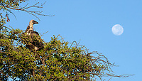 The White-backed Vulture is the most common vulture species we've seen in Africa over the years.