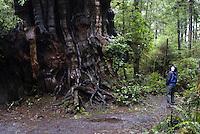 Big Cedar Tree near Kalaloch, Olympic National Park, Washington, US