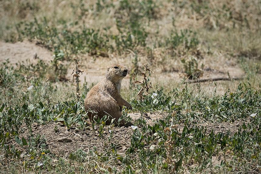 Attentive prarie dog, Colorado, USA