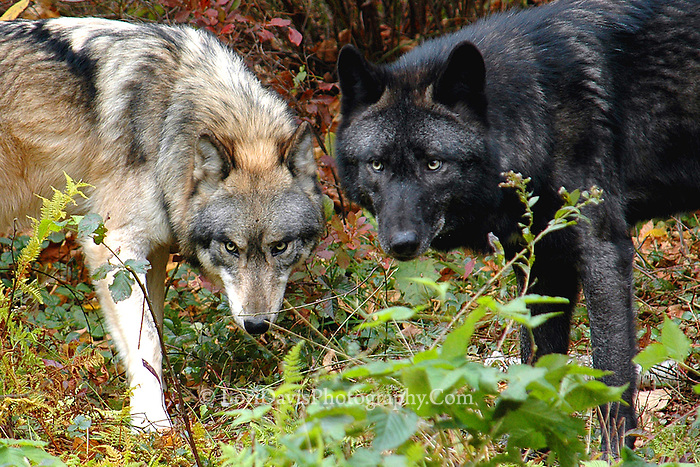 Two Wolves   #Z11