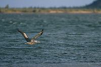 A brown pelican or gray pelican, Pelecanus occidentalis, Brown pelican, flies in the La Cruz estuary in Kino viejo, Sonora, Mexico.<br /> (Photo: Luis Gutierrez / NortePhoto.com).<br /> Un pelicano pardo o pelicano gris, Pelecanus occidentalis, Brown pelican, vuela en el estero La Cruz en Kino viejo, Sonora, Mexico. <br /> (Photo: Luis Gutierrez / NortePhoto.com).