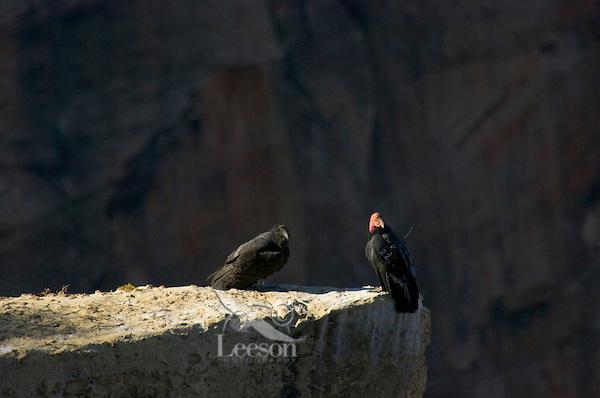 California Condors (Gymnogyps californianus)--adult with young condor.  Grand Canyon, Arizona.