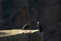 California Condors (Gymnogyps californianus)--adult with young condor.  Grand Canyon, Arizona.