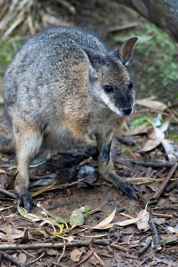 Swamp wallaby (Macropus bicolor)