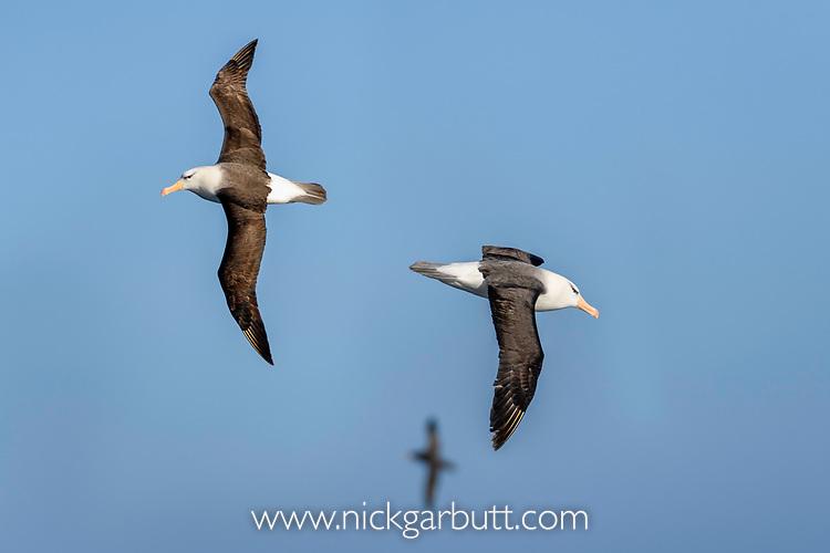 Black-browed albatross (Thalassarche melanophris) in flight. South Atlantic Ocean between The Falklands and South Georgia.