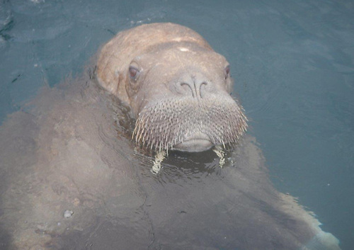 Wally the walrus as spotted in Clonea