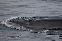 Minke whale ( Balaenoptera acutorostrata ) surfacing in flat calm sea. Bear Island, Barents sea, North East Atlantic