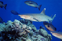 whitetip reef shark, Triaenodon obesus, with fish hook in mouth, Pacific Ocean