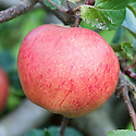 Apple 'Prince Alfred', late September. An English dessert apple from the 1930s.