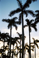 Many palm trees against sunsetting blue-grey sky