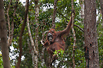 Bornean Orangutan (Pongo pygmaeus wurmbii) - mother and child