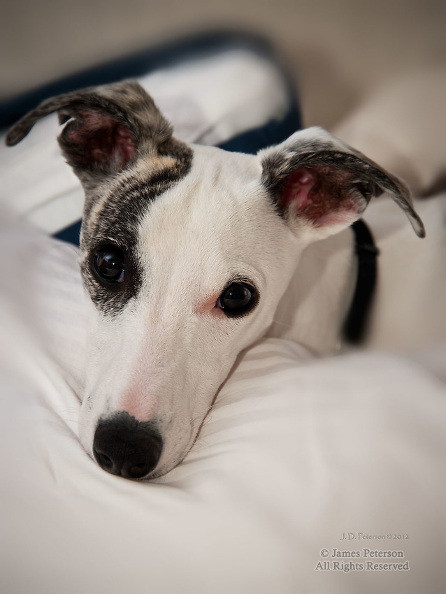 Chloe - a Whippet Puppy