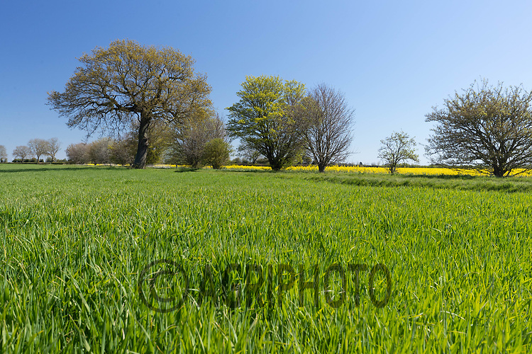 26-4-2021 Winter Wheat<br /> ©Tim Scrivener Photographer 07850 303986<br />      ....Covering Agriculture In The UK....