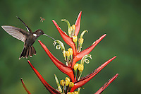 Brown Inca (Coeligena wilsoni), adult feeding from heliconia flower,Mindo, Ecuador, Andes, South America