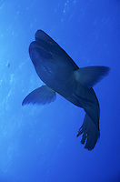 Napoleonfish (Cheilinus Undulatus), swimming, Red Sea, Egypt.