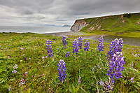 Lupine wildflowers grow along the coastal shores of Fossil beach on the island of Kodiak, Alaska.